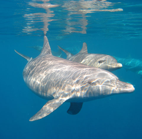 Red Sea dolphins!