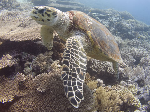 A Red Sea turtle